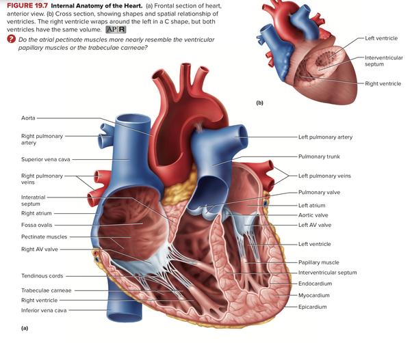 Internal Anterior Diagram Of Heart Custom Wiring Diagram