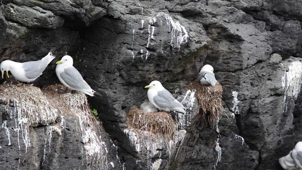 Is availability of food the only thing that keeps seagull