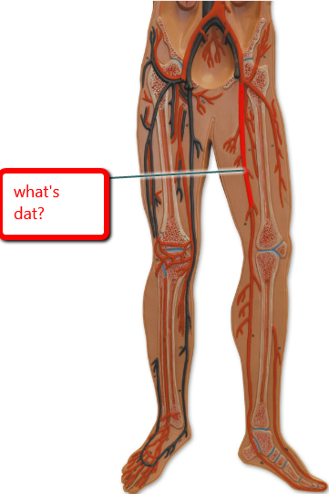 Where Is The Femoral Artery Located At How Deep Is It Quora