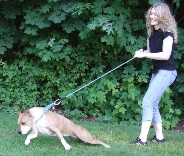 Training A Dog To Walk Without Pulling