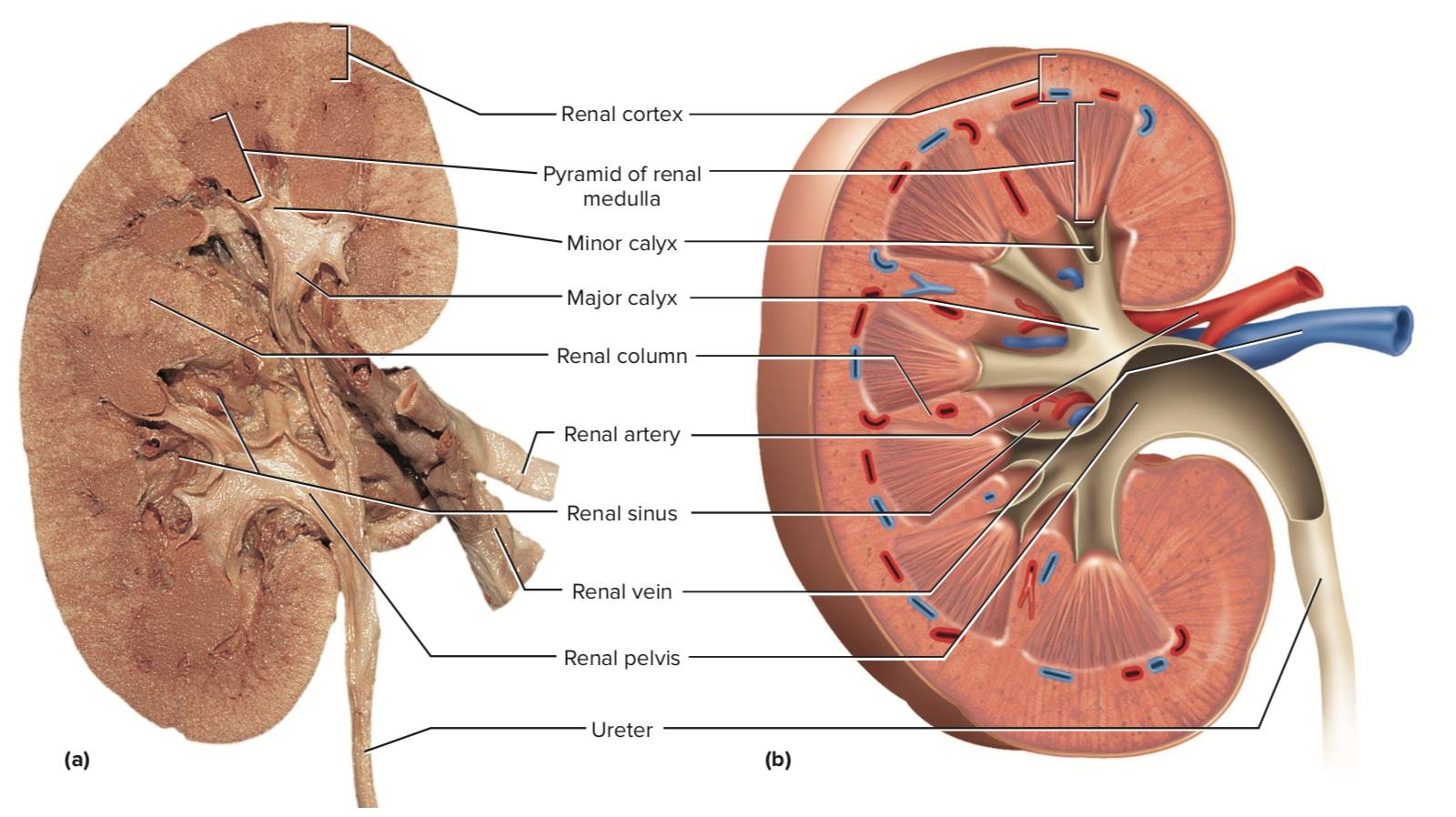 What Is The Internal Anatomy Of A Kidney Quora