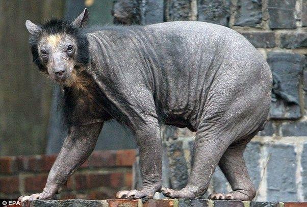 Image result for shaved bear