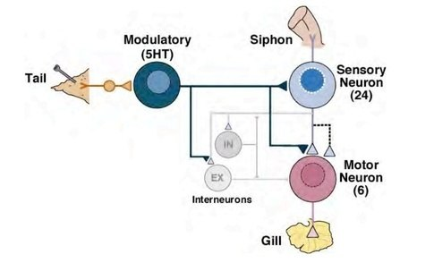 Mix neuron diagram search for wiring diagrams how come the information doesn t get mixed up in an interneuron quora rh quora com motor neuron diagram motor neuron diagram ccuart Image collections
