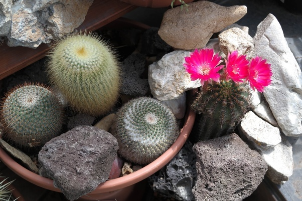 A Cactus Is Flower The Plant With Pinkish Flowers Hybrid And Will Repeatedly Throughout Summer