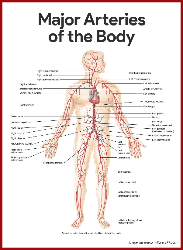 Which Artery Is The Largest And Why Quora