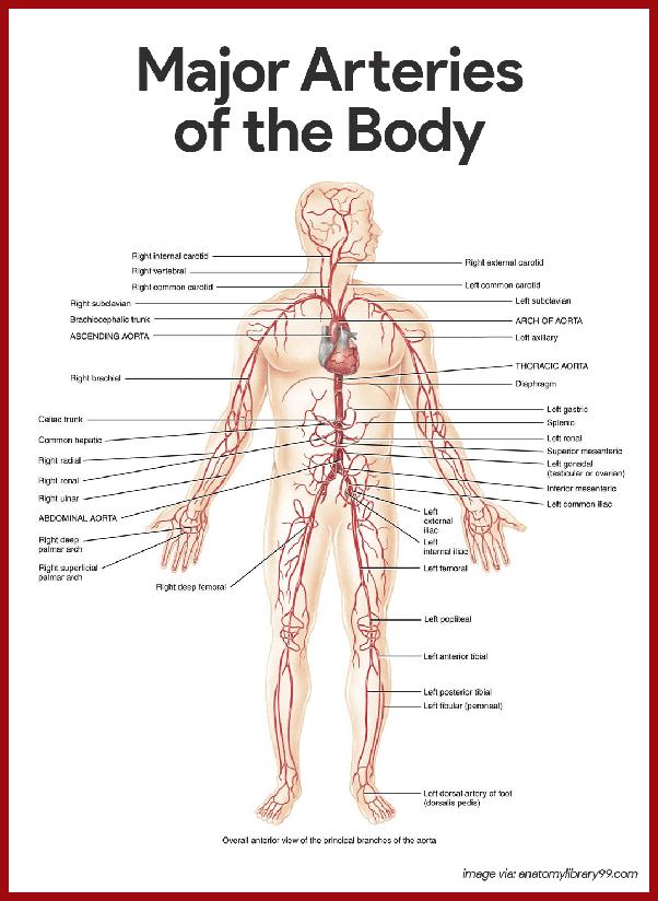 Schön Anatomie Beinmuskeln Zeitgenössisch - Menschliche Anatomie ...