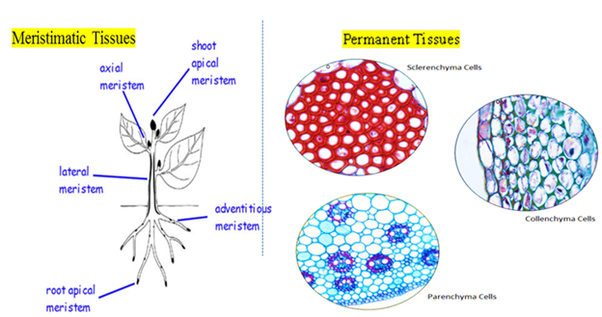 23 1 specialized tissues in plants answers