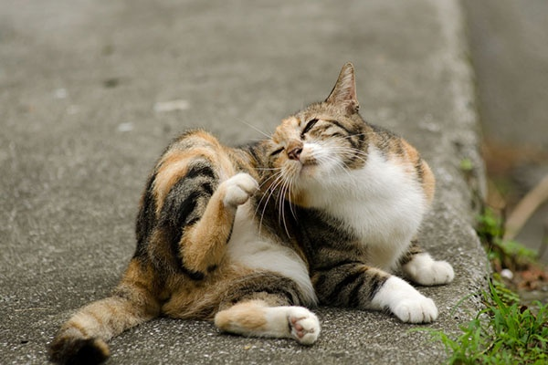 How to get rid of flea dirt on cats - Quora