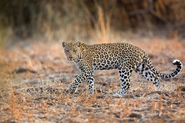 Superb Jaguars Live In The Western Hemisphere, In South And Central America. They  Even Ranged Into The USA At Some Point; I Am Not Sure If They Still Do.  They Are ...
