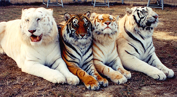 What Is A Tiger S Color Quora