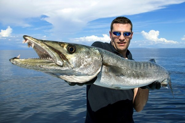 Why are barracudas dangerous? - Quora