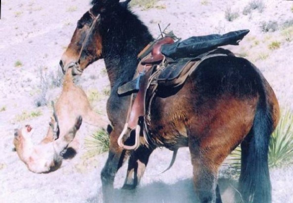 mule - half donkey / half horse fighting a couger.