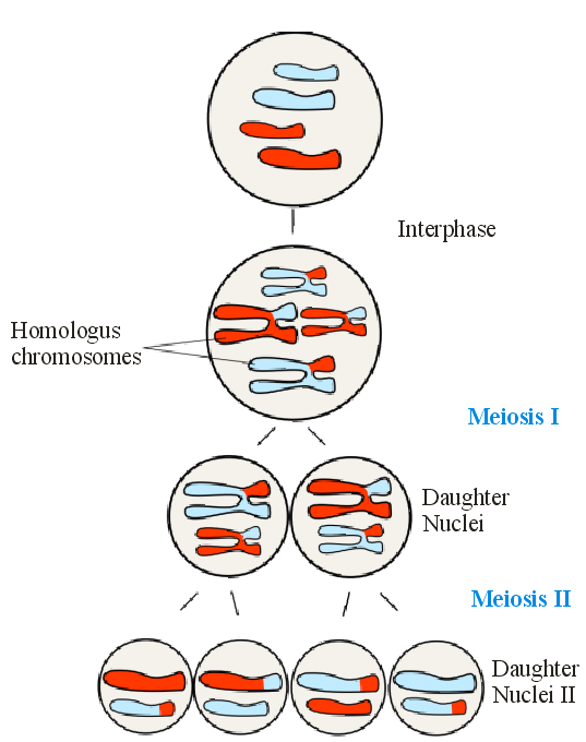 Nuclei of two sex cells