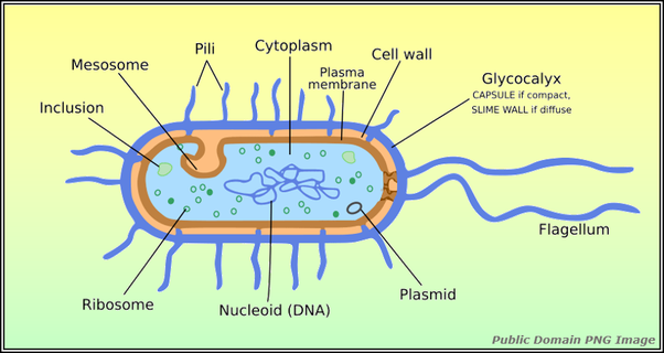 What Part Does Glycocalyx Play In The Prokaryotic