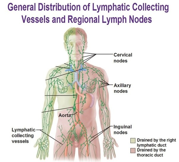Where Are Your Lymph Nodes Quora