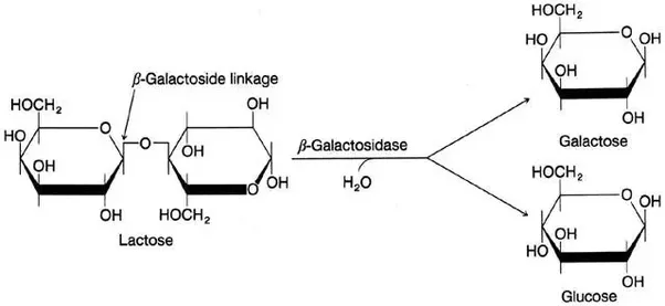 Suarnkendring Lactose And Lactase Reaction Diagram Activation