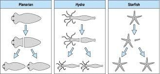Bacterial asexual reproduction regeneration