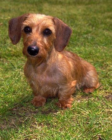 Daxon Dog Puppy Miniture
