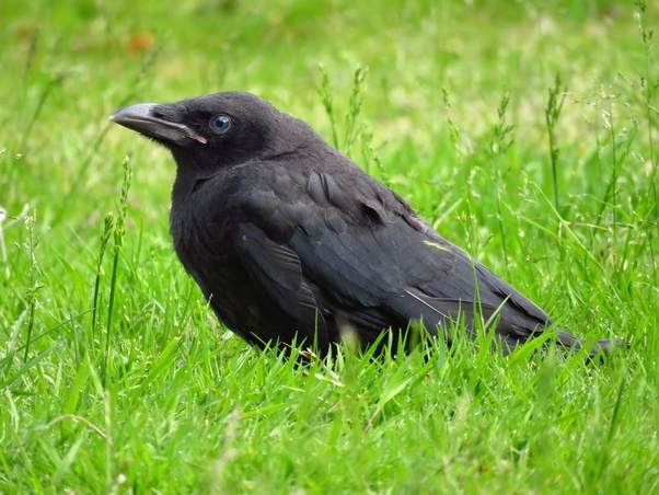 What Is The Significance Of Seeing Three Crows Around You Quora