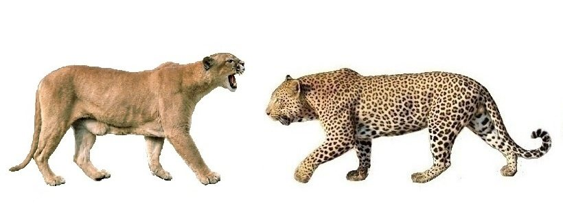 Weighing In At An Impressive 90kg Compared To The Leopards 70 75kg It S Clear Pumas Weight Could Play A Huge Roll