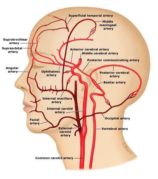 How to palpate an internal carotid artery - Quora
