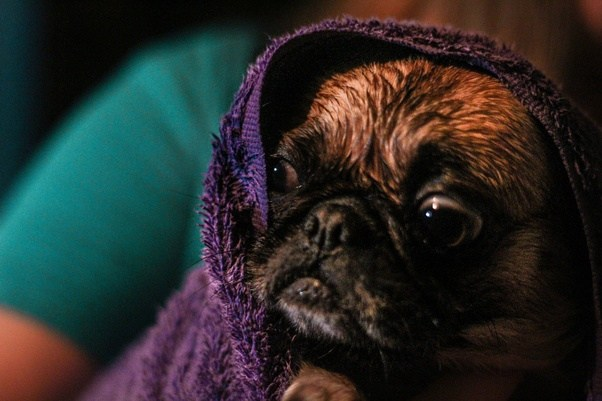 what is the lifespan of a pug what is the expected life expectancy of a pug quora 9062