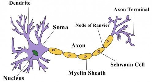 Soma nerve cell neuron diagram trusted wiring diagram what is the structure of a nerve cell quora rh quora com detailed neuron diagram neuron cell diagram with labels and function ccuart Choice Image