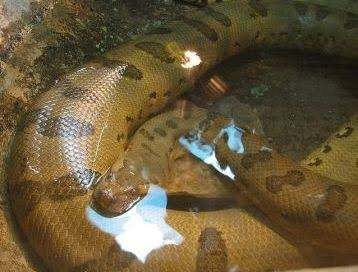 Aninimal Book: What are the hunting habits of anacondas? - Quora