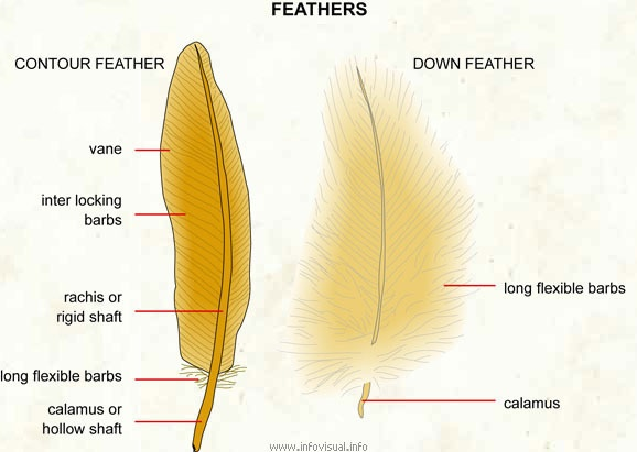 What are the names of the parts of the feathers of a bird\'s wing ...
