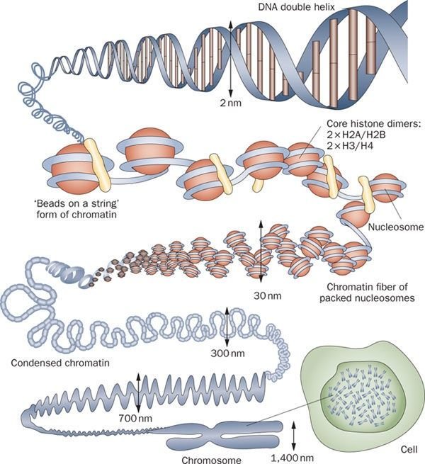 what is the relationship between histones and nucleosomes in eukaryotic dna