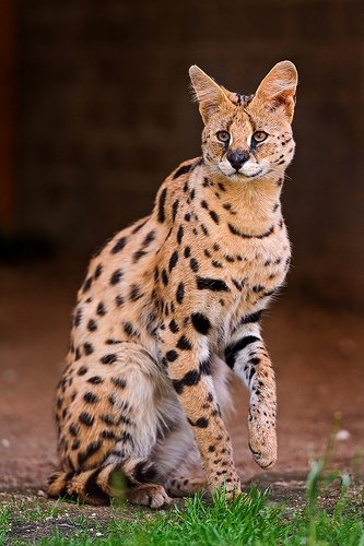 What Did Egyptian Cats Look Like