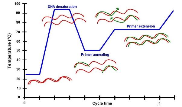 pcr temperature diagram wiring diagram passwhat is pcr? quora pcr temperature diagram