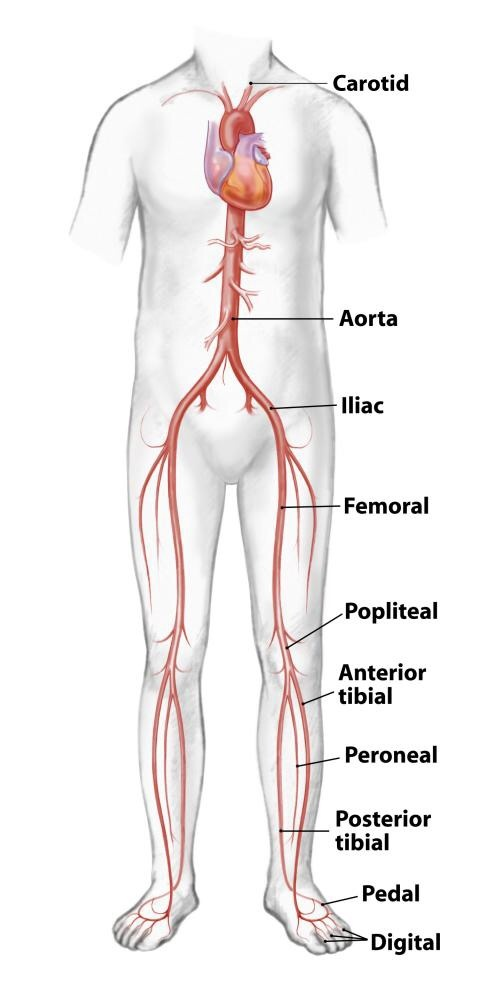 What Are The Blood Vessels That Carry Blood From The Upper And Lower