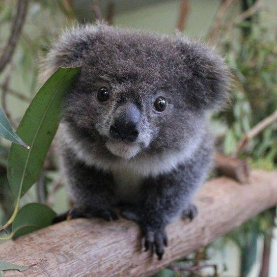 Cuteness what is the cutest koala picture ever quora - Pictures of koalas and baby koalas ...