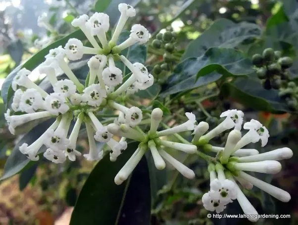 What are some of the most fragrant flowers in the world quora some people complain that they get headaches on the smell headaches or not the flower has a strange smell that is sweet but strange is the key word here mightylinksfo