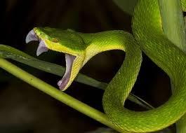 How Often Did Vietnam Soldiers Encounter Venomous Snakes Quora
