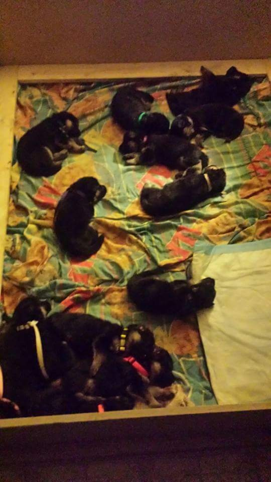 How Many Puppies Can A German Shepherd Have Quora