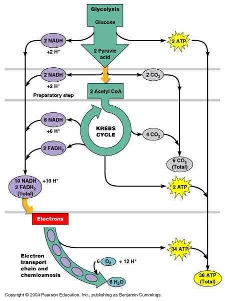 atp production Occurs in the electron transport step, it is a mechanism in which atp is generated when electrons are extracted by oxidation in the kreb cycle and transported through between carrier proteins via protein pumps, and the protons are pumped from the mitochondria matrix into the inter membrane space and pass through channels that synthesis atp.