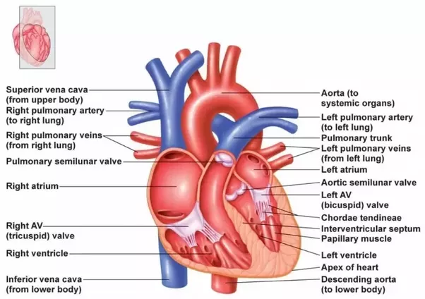The blood vessels that move blood away from the heart are called the aorta artery carries oxygenated blood to the whole body the pulmonary artery carries de oxygenated blood to the lungs ccuart Images