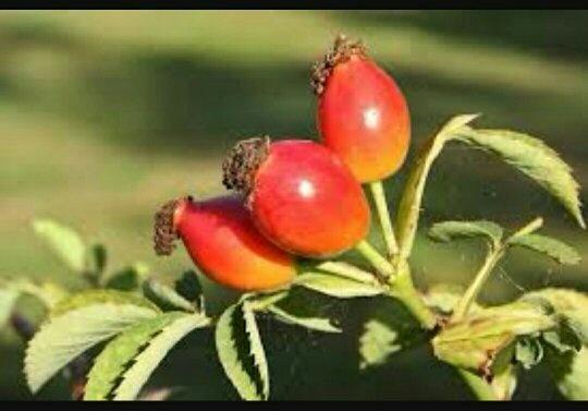 Do rose plant bear fruit? - Quora