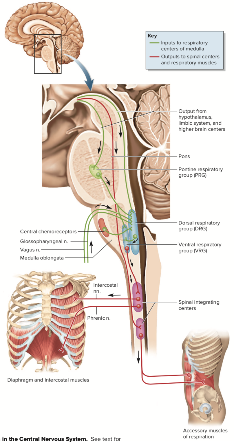 Which Portion Of Medulla Oblongata Act As Inspiratory Centre Quora