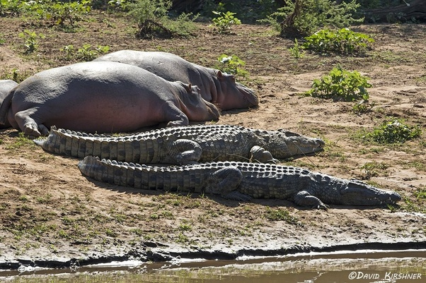 Crocodiles Will Not Hesitate To Feed On Dead Hippos Though
