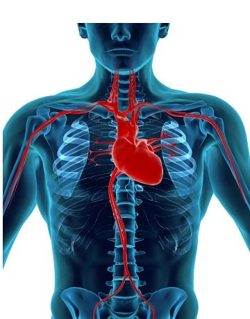 Is It True That The Human Heart Is On The Left Side Why Quora