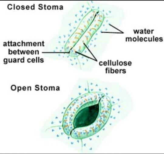 relationship between stomata and guard cell