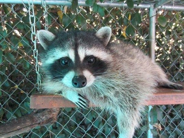 Charmant An Immediate Concern Is Canine Distemper, Alarmingly Common In Many Parts  Of The World. Iu0027ve Personally Rescued Several Young Raccoons As A ...
