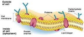 COMPOSITION OF CELL MEMBRANE EBOOK DOWNLOAD