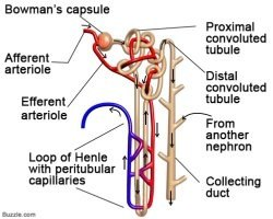 What are the structures of nephron quora answer wiki ccuart Images