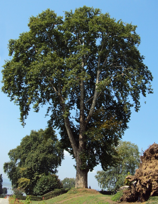 What Is The State Tree Of Azad Jammu And Kashmir Quora
