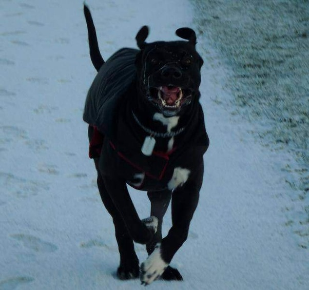 What Are The Characteristics Of A Cane Corsodoberman Mix Quora