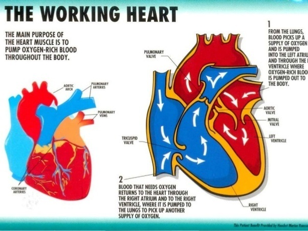 What are the functions of the heart quora hope it helps ccuart Image collections